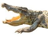 Salzwasser-Krokodil-Aurogold